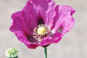 poppy-purple