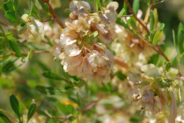 hopbush-seed-cases