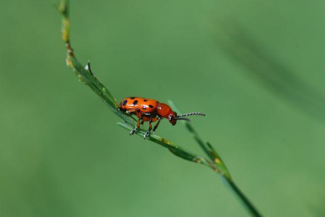 asparague-beetle-nice-adult