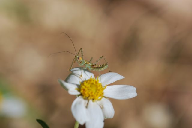 assassin-bug-nymph-even-better