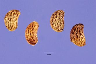 black-raspberry-seeds