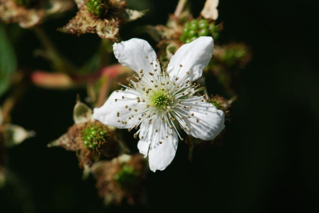 blackberry-flower-1