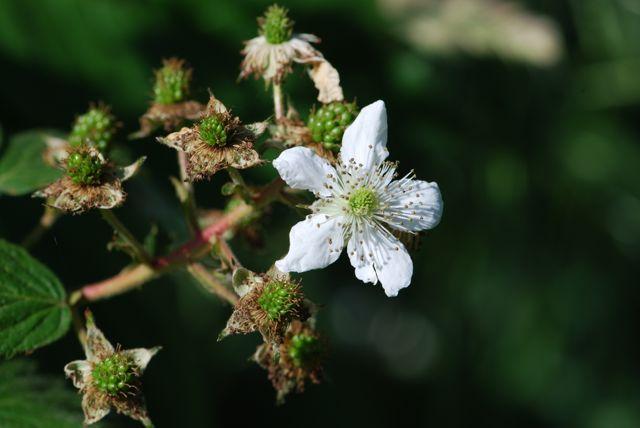 blackberry-flower-further