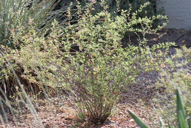 fairy-duster-plant