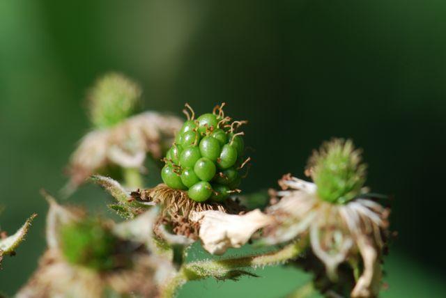 green-blackberry