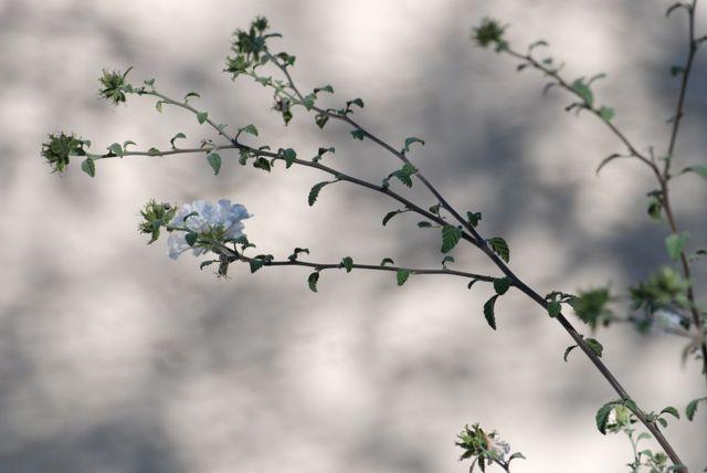 little-leaf-cordia-branch