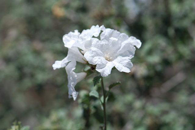 little-leaf-cordia-flower-cluster