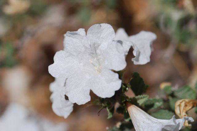 little-leaf-cordia-flower