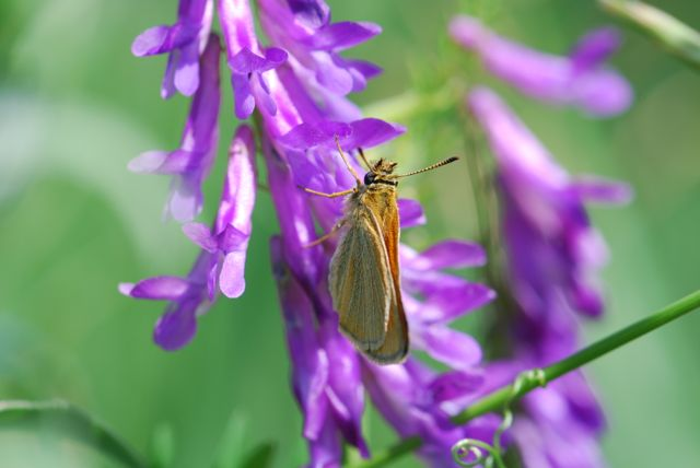 skipper-on-vetch-close