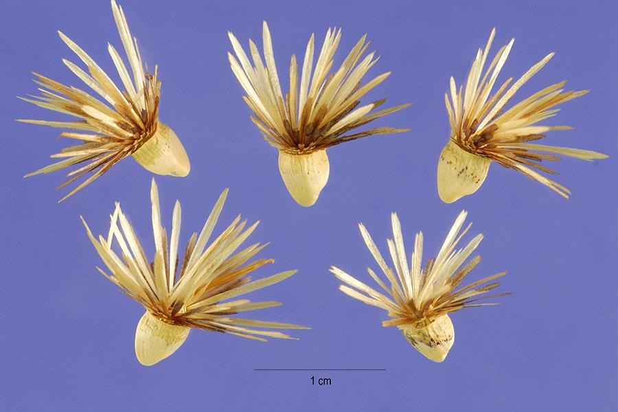 carthamus-lanatus