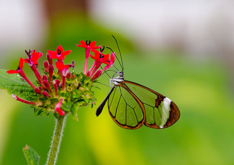 Greta_Oto_(Glasswing)_Butterfly