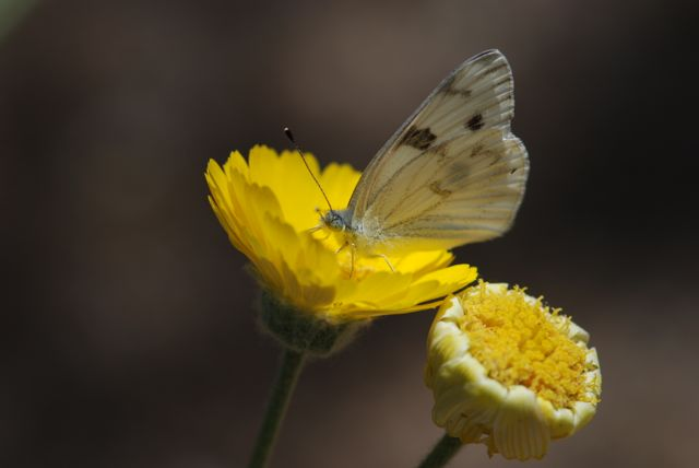 checkered-white-in-desert-marigold