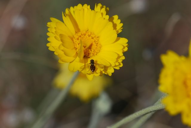 desert-marigod-flower-fly
