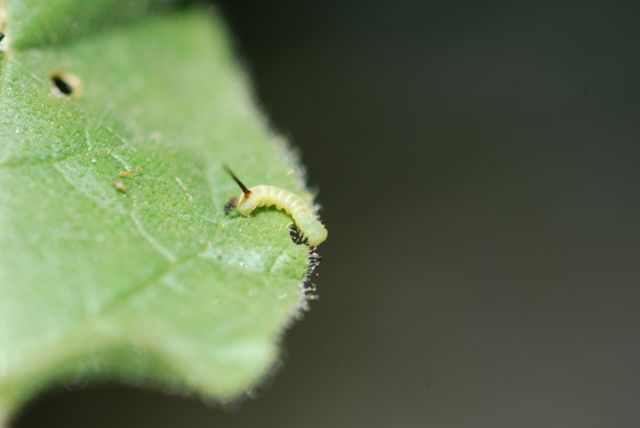 teeny-hornworm-111