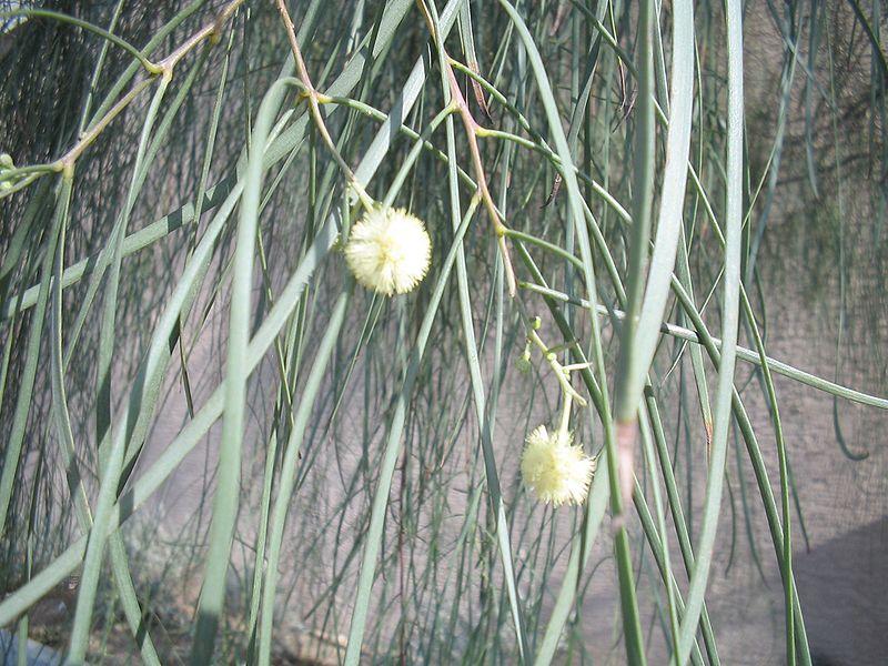 Acacia-stenophylla-flowers