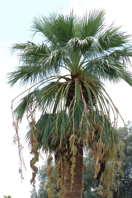 fan-palm-fruiting