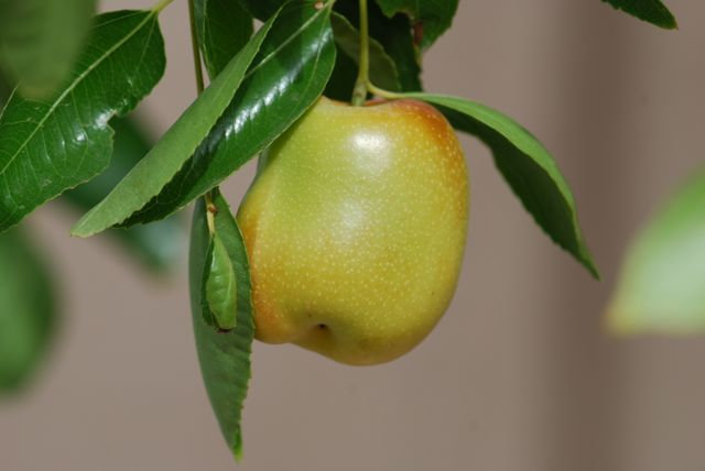 jujube-fruit-close
