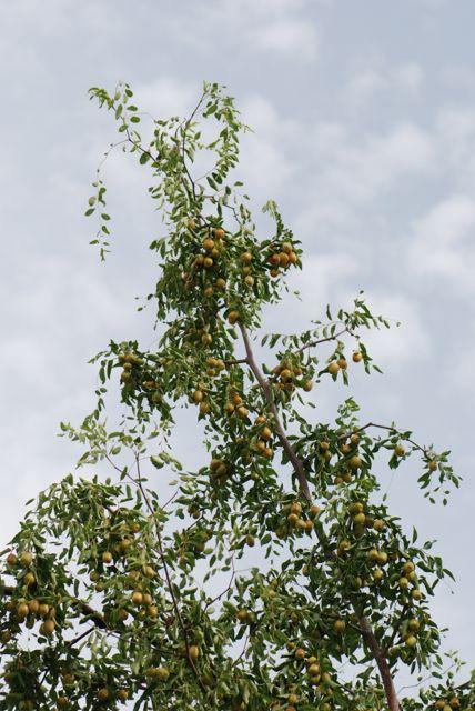 jujube-tree-1