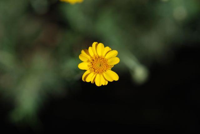 fiveneedle-pricklyleaf-flower