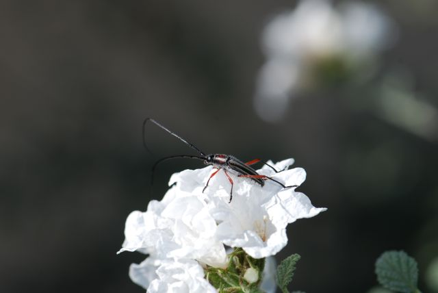 good-long-horned-beetle