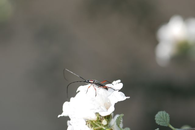 long-horned-beetle-shows-antennae