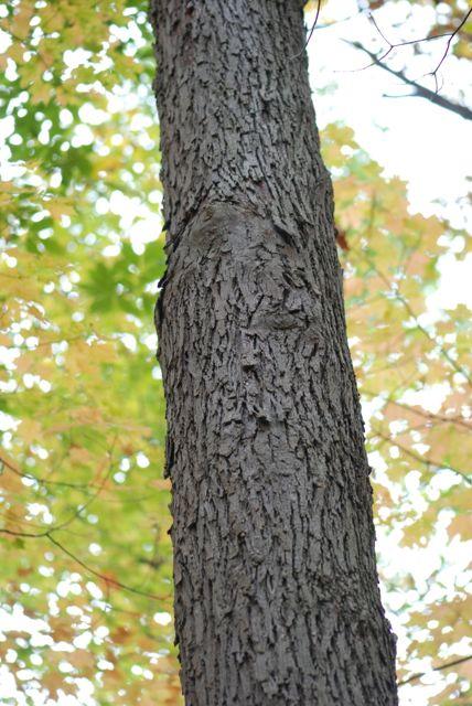 pignut-hickory-trunk