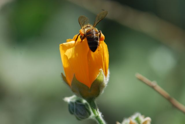 superstition-mallow-with-honeybee