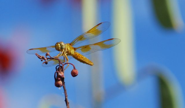 dragonfly-on-redbird