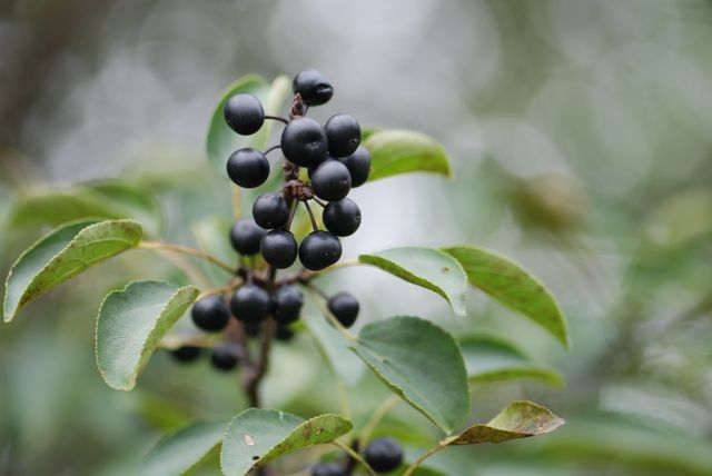 buckthorn-berries
