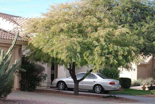 desert-fern-tree-1