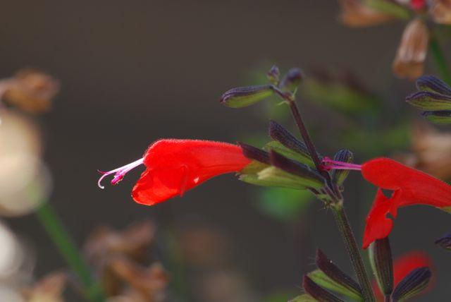 scarlet-sage-flower-101