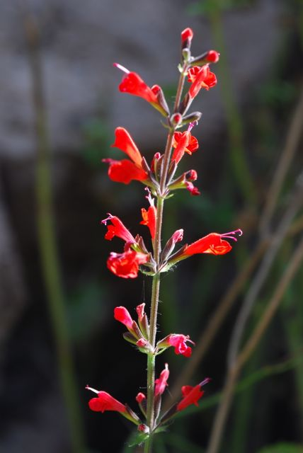 scarlet-salvia-flower-stalk-tall