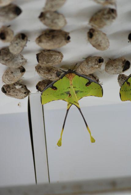 Argema-mimosae-african-moon-moth