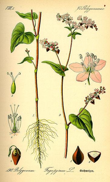Buckwheat_002