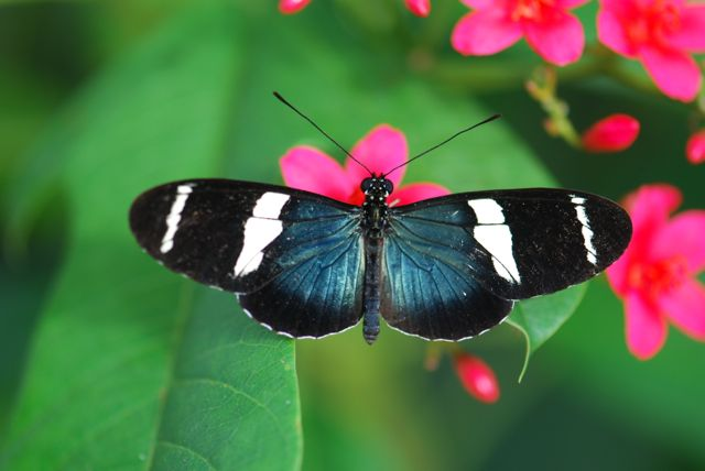 Heliconius-sara- sara-longwing