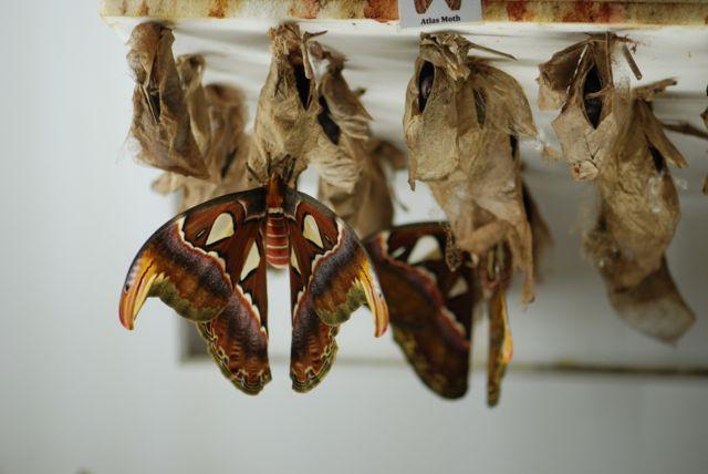 atlas-moth-Attacus-atlas-102