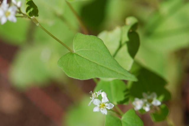 buckwheat-leaf-and-flower87