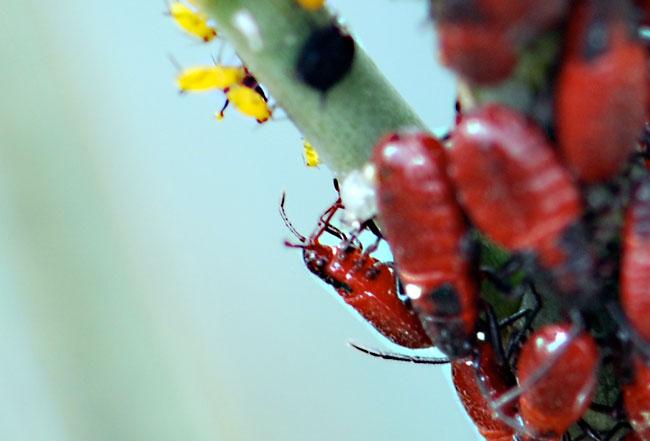 cropped-milkweed-bug