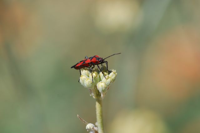 milkweed-bug-adult