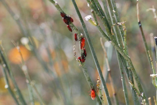 milkweed bugs adults molt