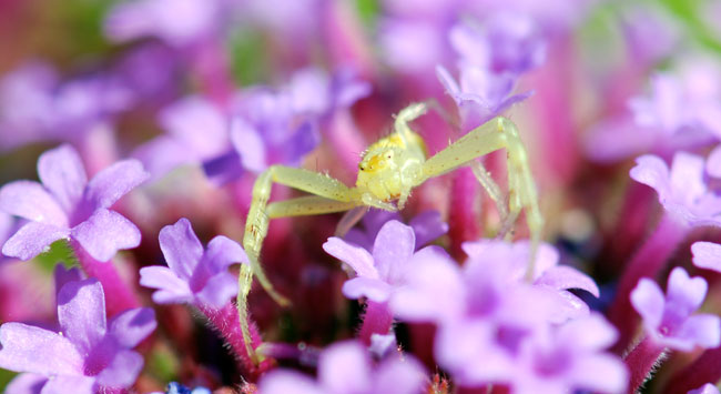 crab-spider-face