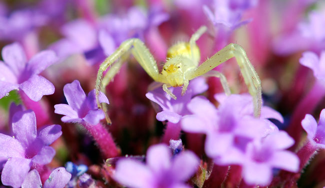 crab-spider-on-purple-100