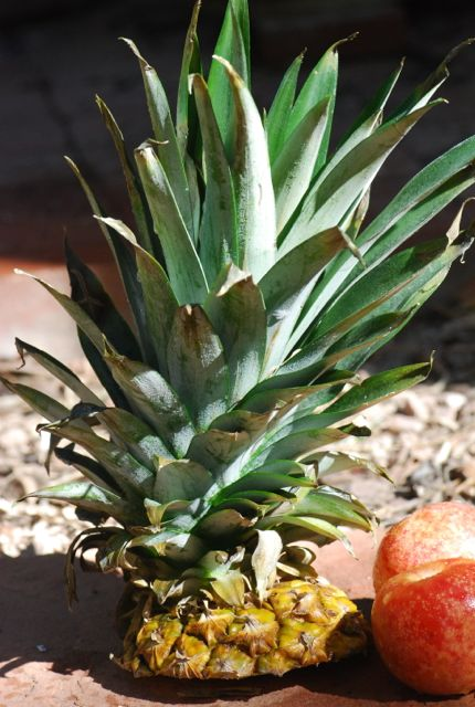 pineapple-for-growing-2