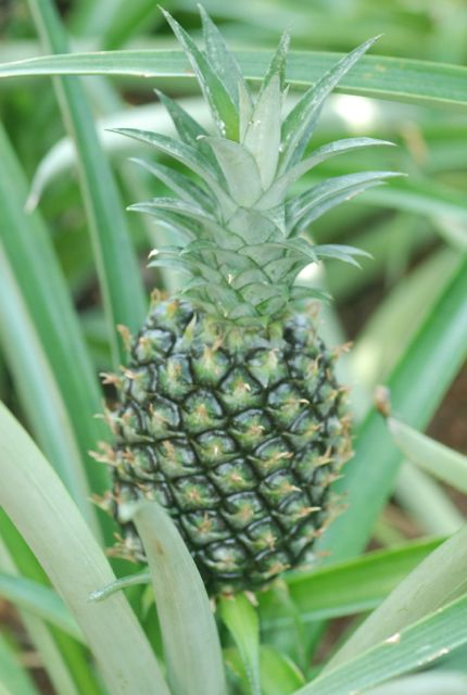 pineapple-sprouting