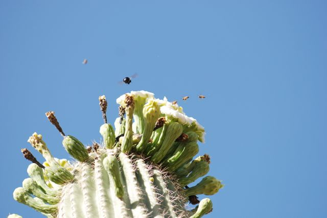 bees-over-saguaro-flowers-456