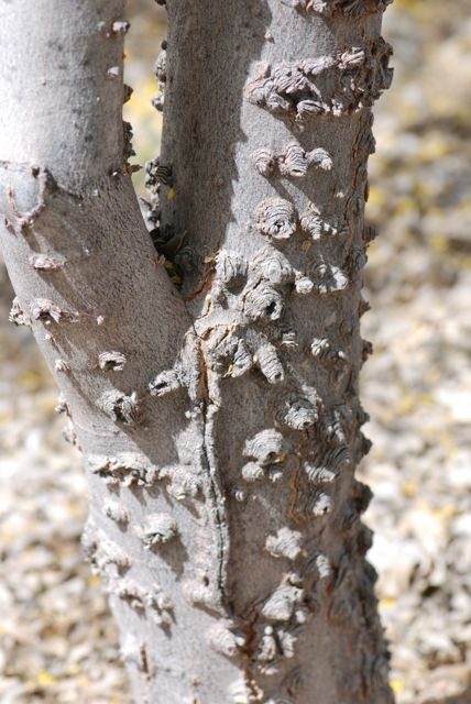 hackberry-knobby-bark