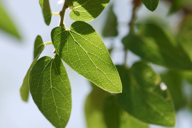 hackberry-leaves-close-better