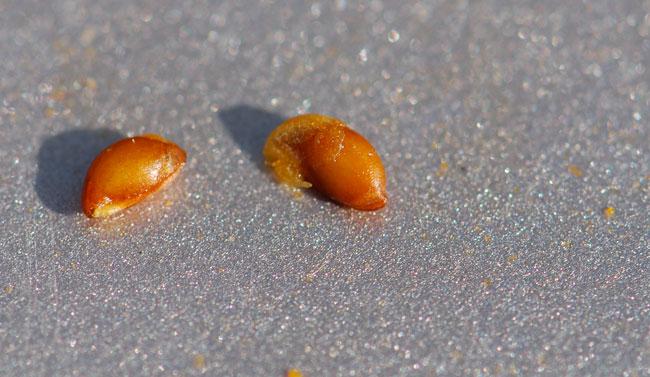 sorbus-mountain-ash-seeds