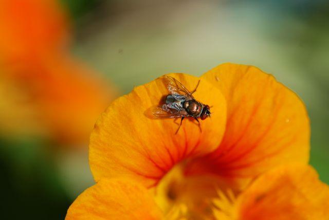 orange-fly-on-nasturtium-farther