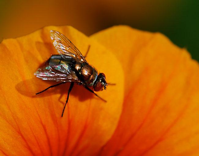 orange-fly-on-nasturtium-second